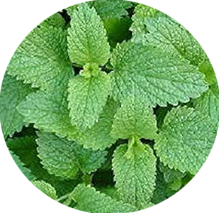 Lemon Balm Synergetic